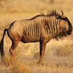 Blue-Wildebeest-Idube-Safaris-Hunting-Africa