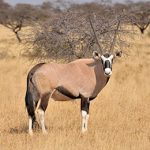 Gemsbok-Oryx-Idube-Safaris-Hunt-South-Africa