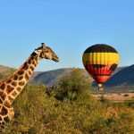 Giraffe-Idube-Hot-Air-Balloon-Safari-1