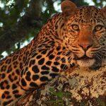 Leopard-Idube-Safaris-