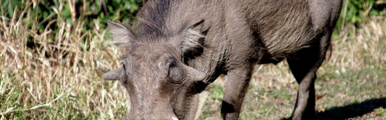 warthog-1364424_1920