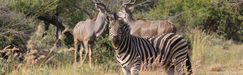zebra-4600470_1920